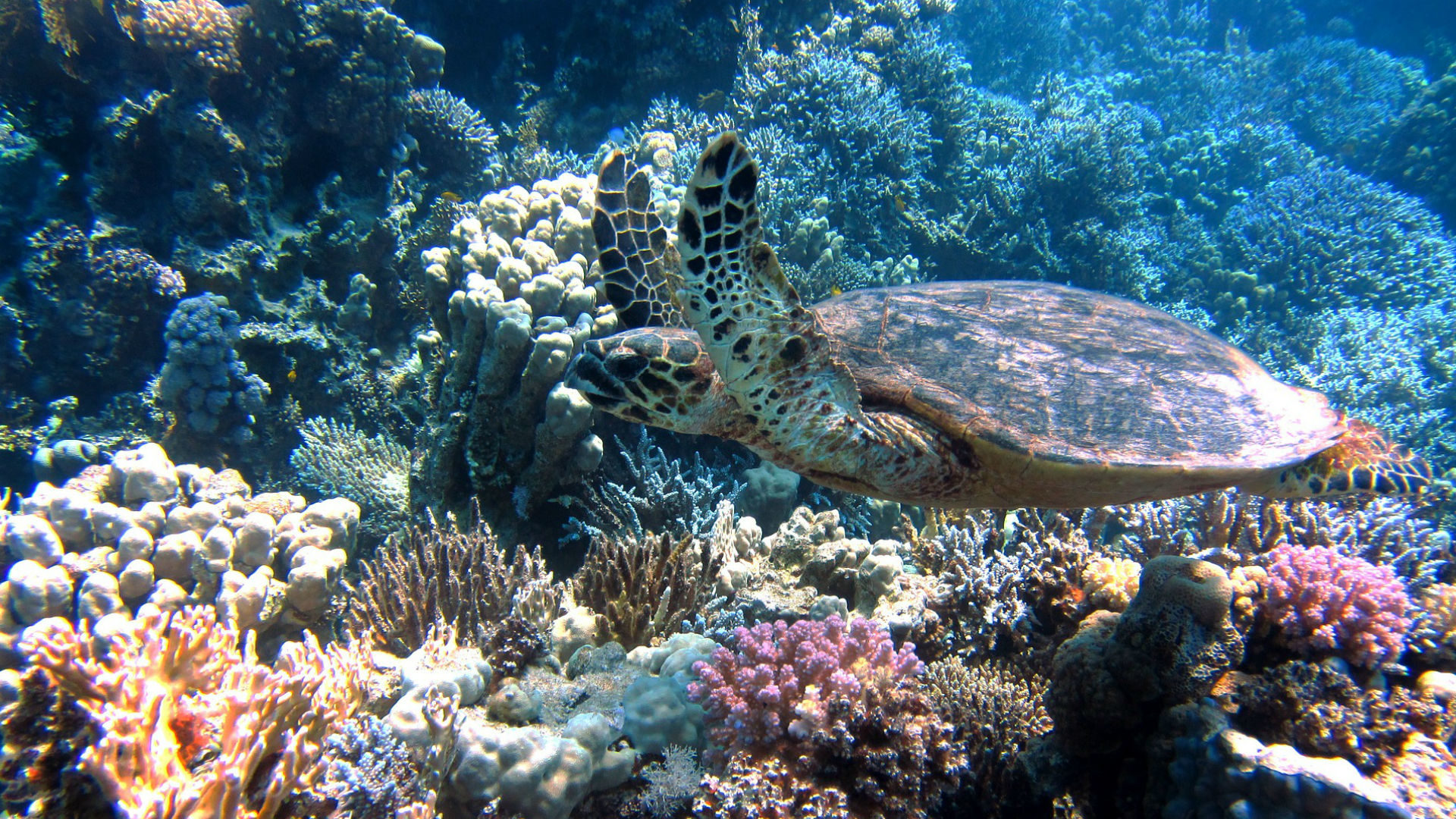 coral-reef-turtle