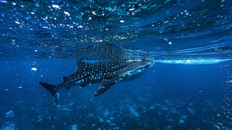ocean whale shark