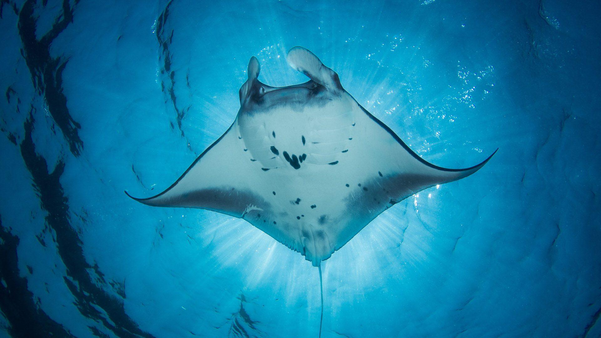 A manta ray in the ocean
