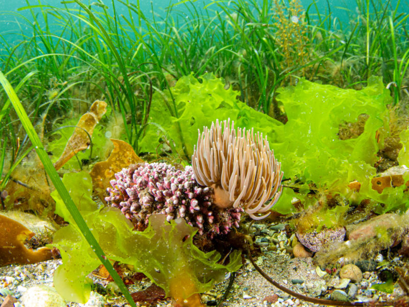 Seagrass-beds-community-of-Arran-COAST